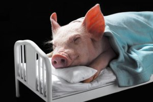Sick Pig in Bed from the Swine Flu