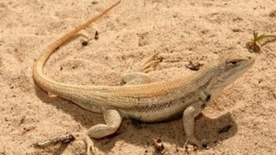 http://www.foxnews.com/politics/2011/05/10/saving-dunes-sagebrush-lizard-kill-oil-production/