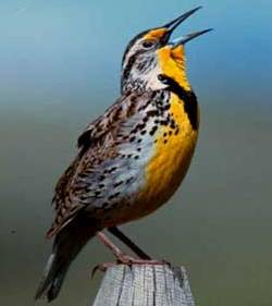 WesternMeadowlark - Copy