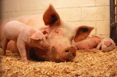 pigs - Copy