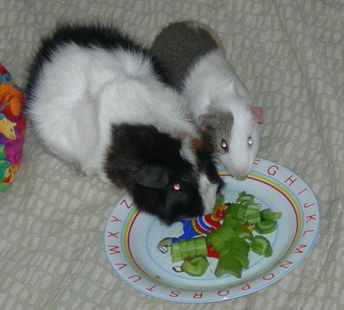 Guinea pigs on celery diet - Copy