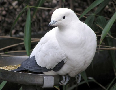 Pied.imperial.pigeon - Copy