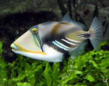Picasso.triggerfish - Copy