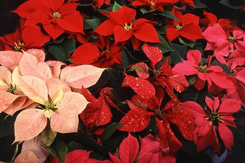 Poinsettia - Copy