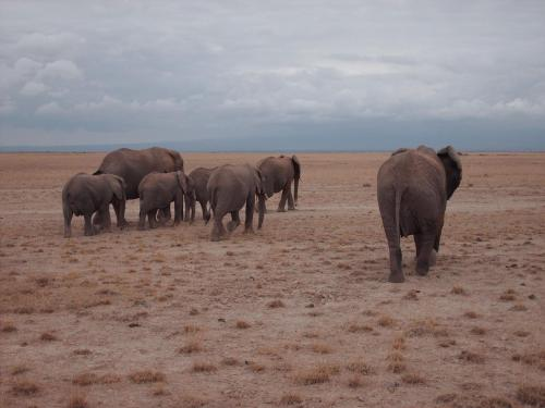 Elephants_in_Kenya - Copy