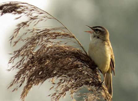 Sedge_Warbler_singing - Copy