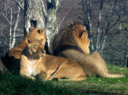 Lions_in_Pombia - Copy