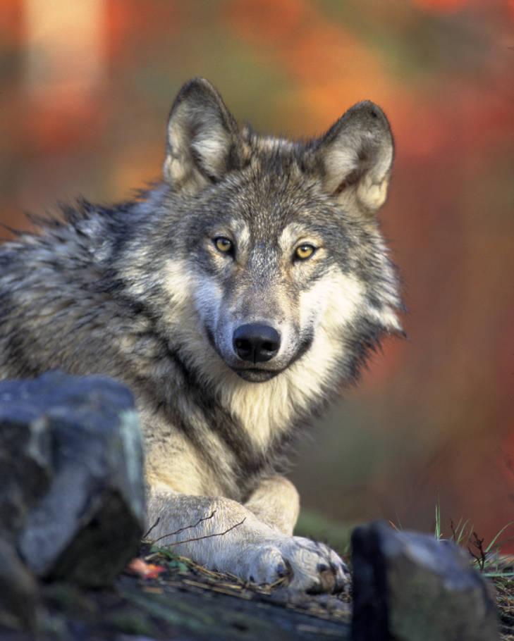 crywolf - Copy